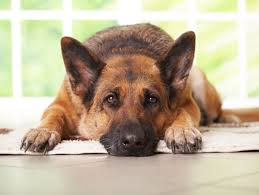 dogs with hypothyroidism
