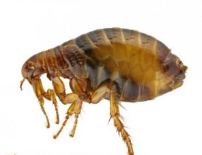 natural ways to get rid of fleas on dogs