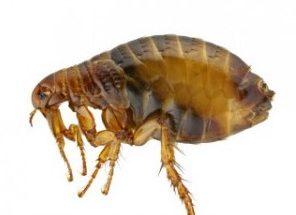 fleas on dogs
