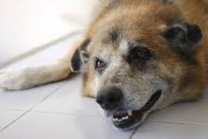 How To Help A Dog With Congestive Heart Failure Naturally