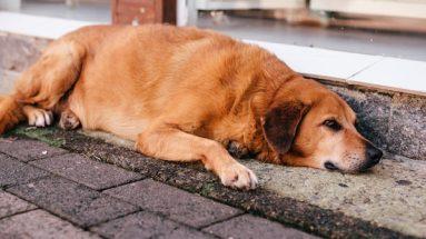 obesity in dogs