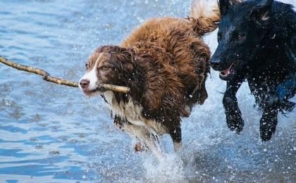natural immunity in dogs