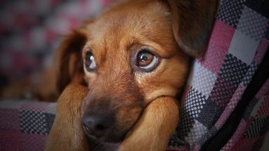 inflammation in dogs